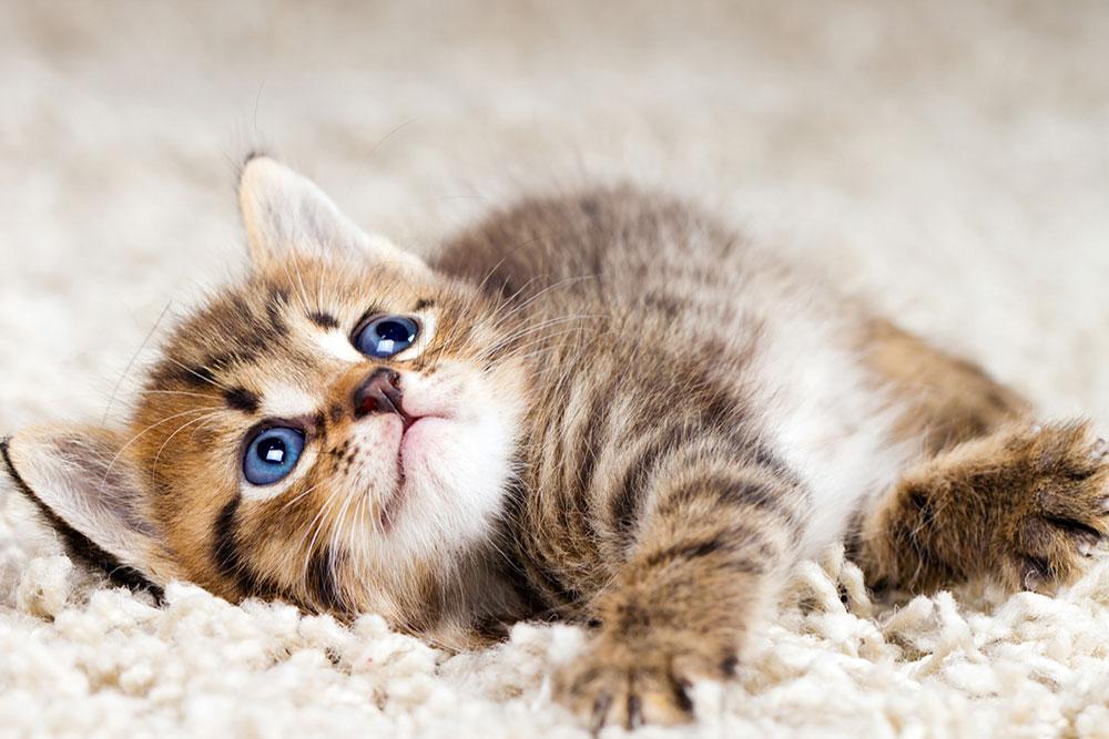 توصیه-های-مهم-برای-صاحبان-حیوانات-خانگی-در-هنگام-خرید-فرش